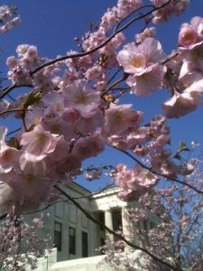The Buffalo History Museum in Cherry Blossoms